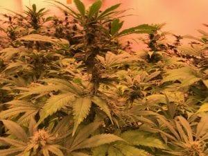 CBD-reiche Cannabissorte Franz von Magu CBD kurz vor der Ernte