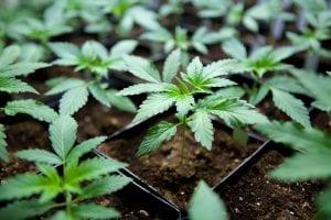 Steckling von CBD-reicher Cannabissorte Franz von Magu CBD