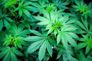Pflanze von CBD-reicher Cannabissorte Franz von Magu CBD