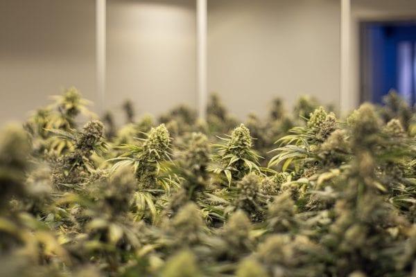 MAGU Produktion CBD-Weed
