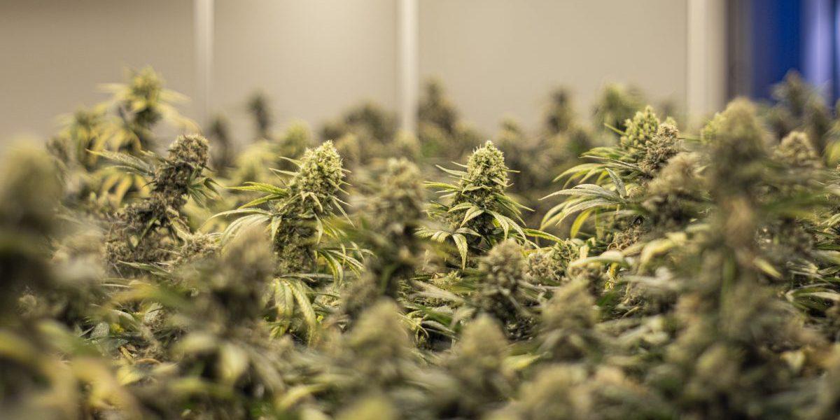 Blüten in der Cannabis Produktion